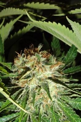 Everest Bud