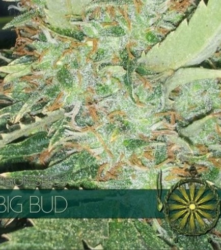 Big Bud (Vision Seeds)