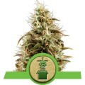 Royal Jack Automatic (Royal Queen Seeds)
