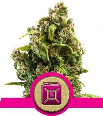 Sour Diesel (Royal Queen Seeds)