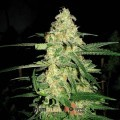 Original Clon (Blimburn Seeds)