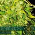 White Widow Autoflowering (Vision Seeds)