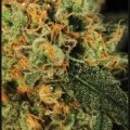 A.M.S. (Greenhouse Seeds)