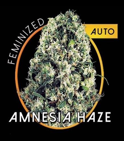 Amnesia Haze Autofiorente (Vision Seeds)