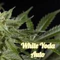 White Yoda Auto (Philosopher Seeds)