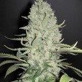 White Widow x Big Bud (Female Seeds)