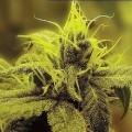 A-1 Haze (Sagarmatha Seeds)