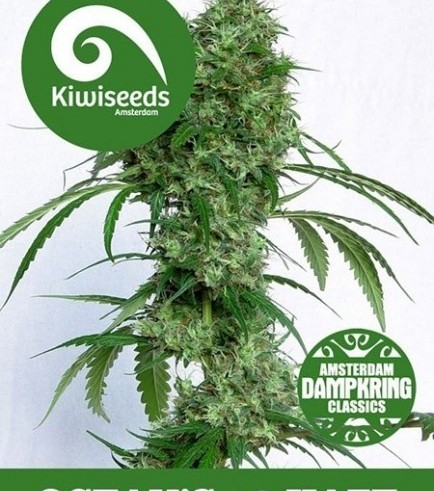 Ocean's Twelve Haze (Kiwi Seeds)