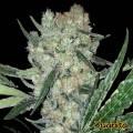 Juanita (Original Sensible Seeds)