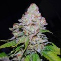 White Berry (VIP Seeds)