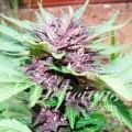 Auto Dark Purple (Delicious Seeds)