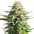 Pineapple Kush (Zativo Seeds)