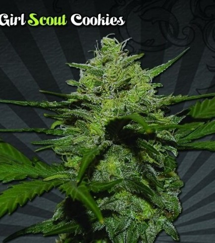 Girl Scout Cookies (Auto Seeds)