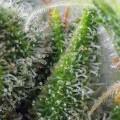 Chem Beyond Diesel CBD (Sweet Seeds)