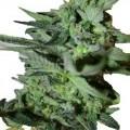 OG Kush x Train Wreck (CH9 Seeds)
