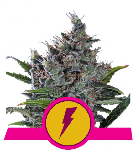 North Thunderfuck (Royal Queen Seeds)
