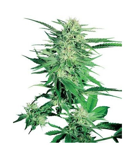 Big Bud (Sensi Seeds)
