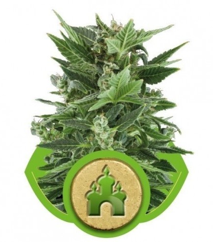 Royal Kush Automatica (Royal Queen Seeds)