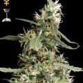 Arjan's Ultra Haze 1 (Greenhouse Seeds)