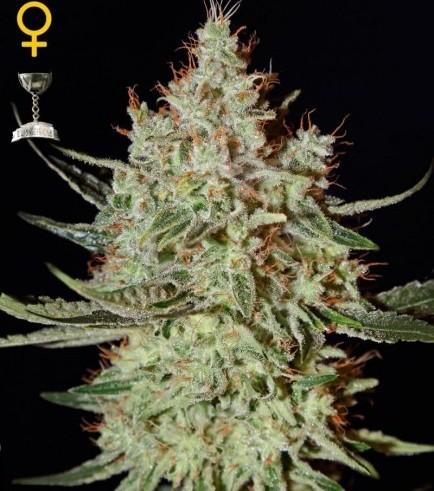K-Train (Greenhouse Seeds)