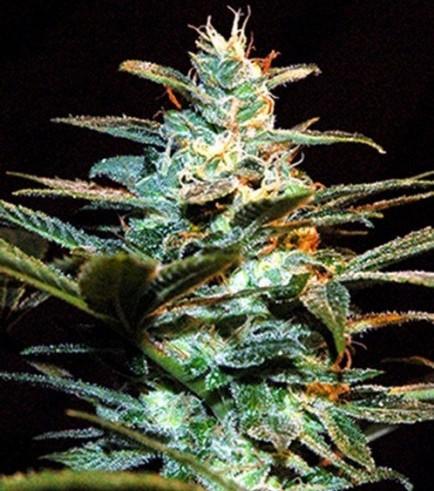 Ice Cool (Sweet Seeds)