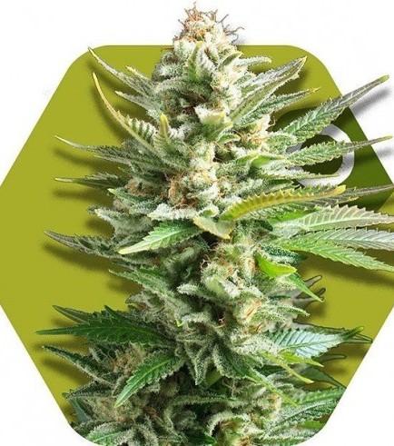 Amnesia Haze XL (Zambeza Seeds)