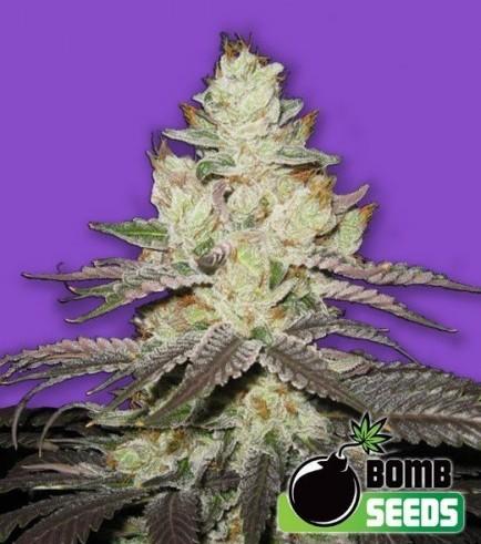 Killer Purps (Bomb Seeds)