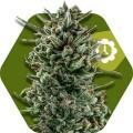 Amnesia Haze XL Autofiorente (Zambeza Seeds)