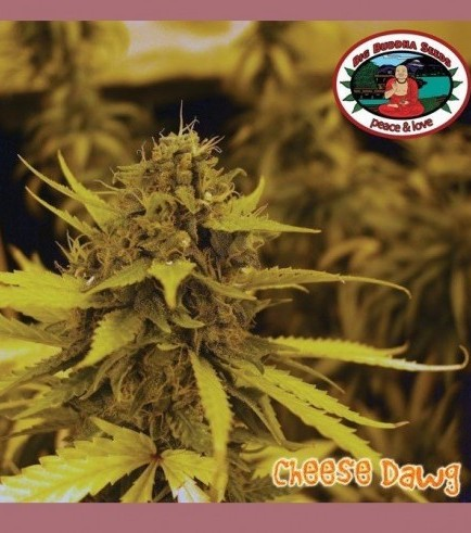 Cheese Dawg (Big Buddha Seeds)