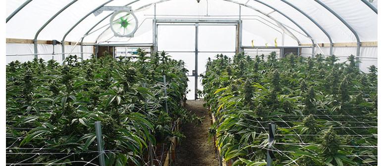 Consigli per coltivare cannabis in serra