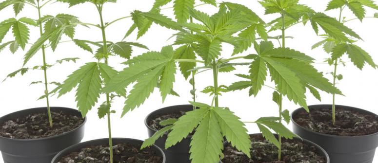 Tutto Quello che Devi Sapere su Fenotipi e Genotipi di Cannabis