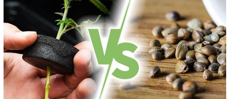 4 Vantaggi nel coltivare le piante di cannabis dai semi comparati ai cloni
