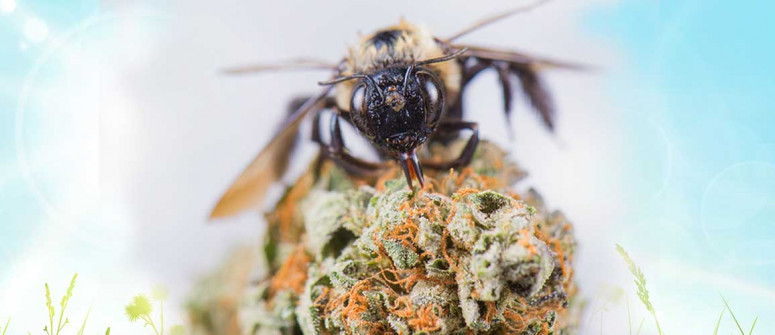 Cannamiele: si possono addestrare api a produrre miele dall'erba?
