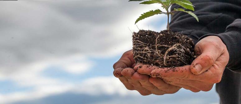 Come e quando trapiantare le piante di cannabis