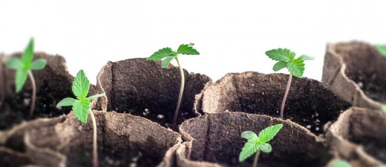 Considerazioni importanti per la tua prima coltivazione di cannabis