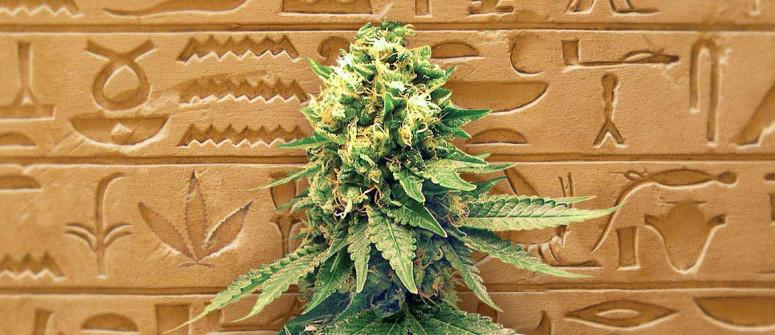 La storia dei semi di cannabis autofiorenti