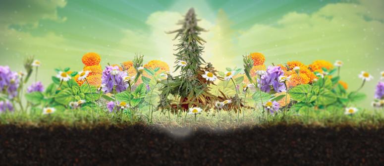 La consociazione di piante e i suoi benefici per la cannabis