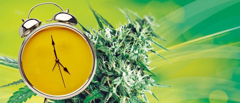 Quanto Tempo Ci Vuole per Coltivare una Pianta di Marijuana?