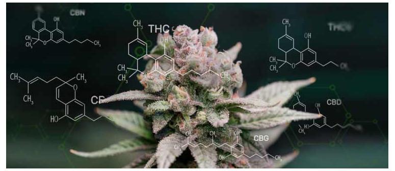 I 6 cannabinoidi più importanti della cannabis