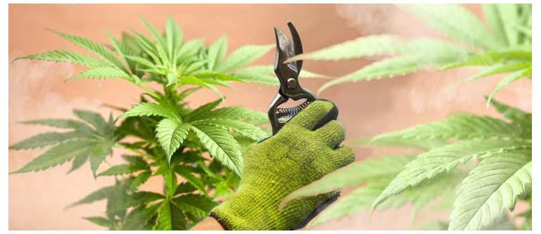 La Cimatura sulle Piante di Cannabis Autofiorenti è Davvero Dannosa?