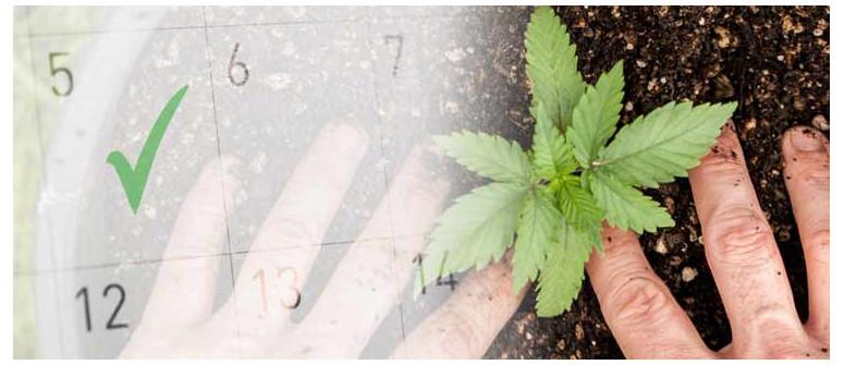 Qual è il Momento Migliore per Coltivare la Cannabis all'Aperto?