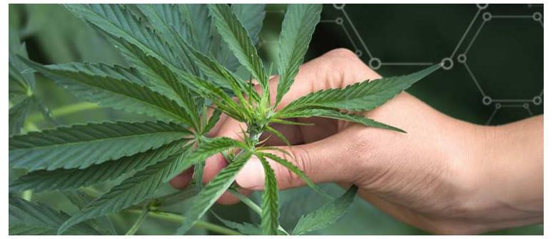 Qual è la quantità minima di fertilizzanti richiesta in una coltura di cannabis outdoor?