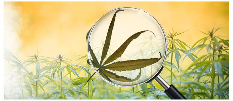 Cos'è una bruciatura da vento e come Prevenirla nelle colture di cannabis