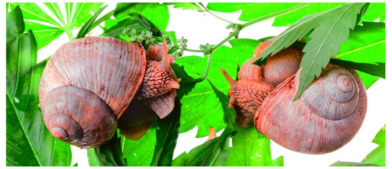 Come proteggere le piante di cannabis da chiocciole e lumache