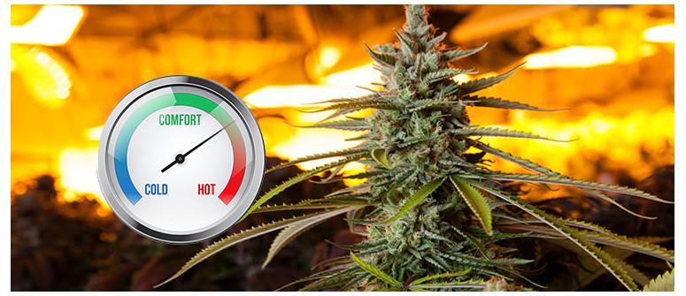 La temperatura ideale per coltivare cannabis