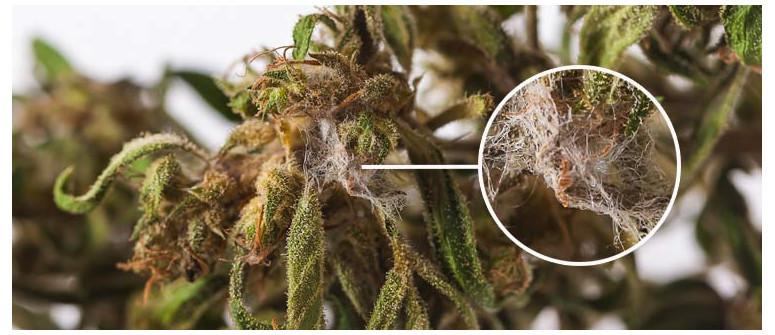 Marijuana Ammuffita: Come Identificarla, Evitarla e Trattarla