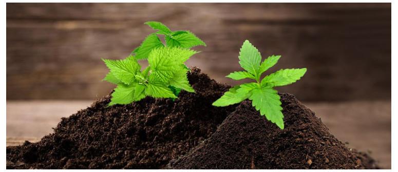 I diversi benefici dell'ortica nel tuo giardino di cannabis
