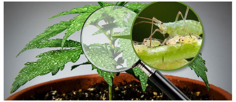Afidi e piante di marijuana: come prevenire, identificare e trattare