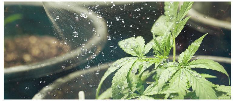Come e quando irrigare le piante di cannabis