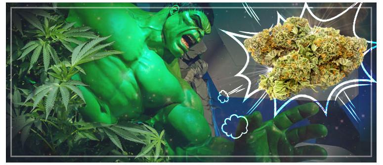 Recensione Varietà di Cannabis: Bruce Banner 3
